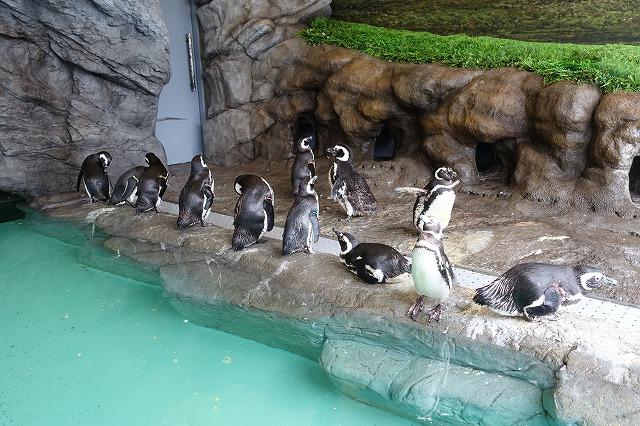 しながわ水族館ペンギン