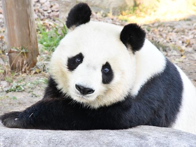 王子動物園パンダ旦旦