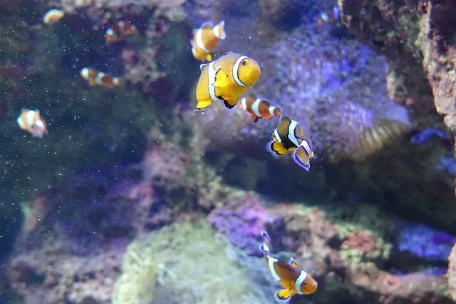 サンシャイン水族館カクレクマノミ