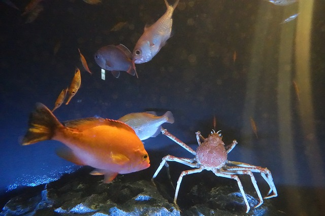サンシャイン水族館タカアシガニ