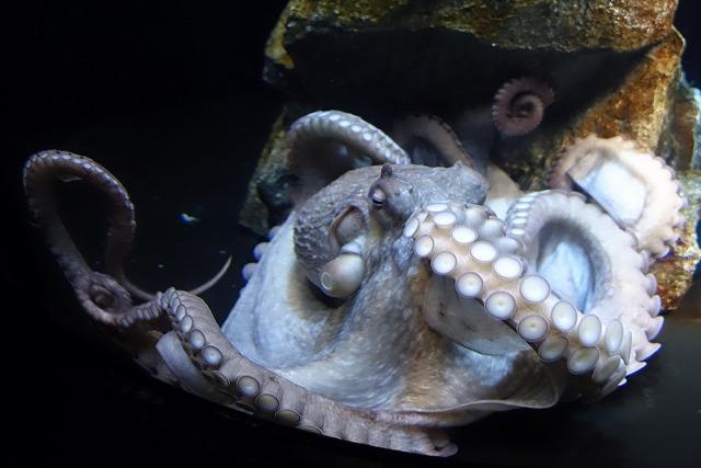 サンシャイン水族館タコ