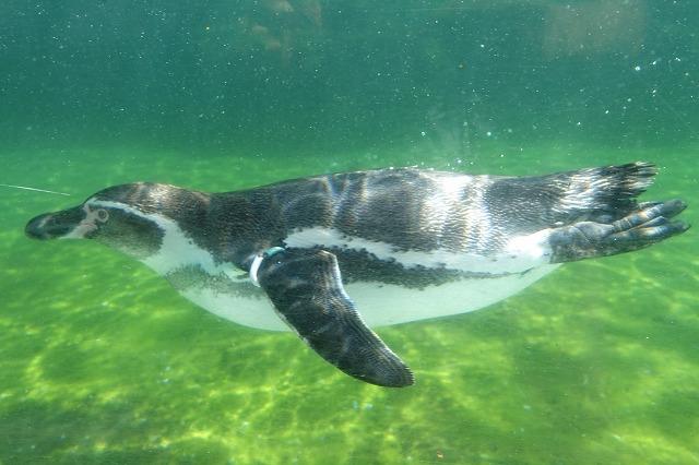 葛西臨海水族園ペンギン
