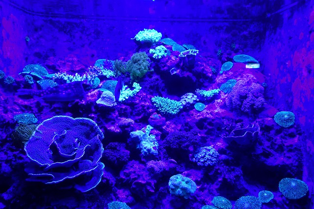 蛍光サンゴ